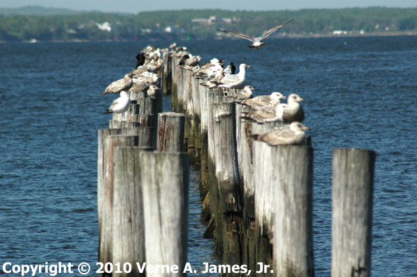 Sea Gulls Resting in Raritan Bay on the Old Pipeline Pilings from the Sewage Treatment Plant.