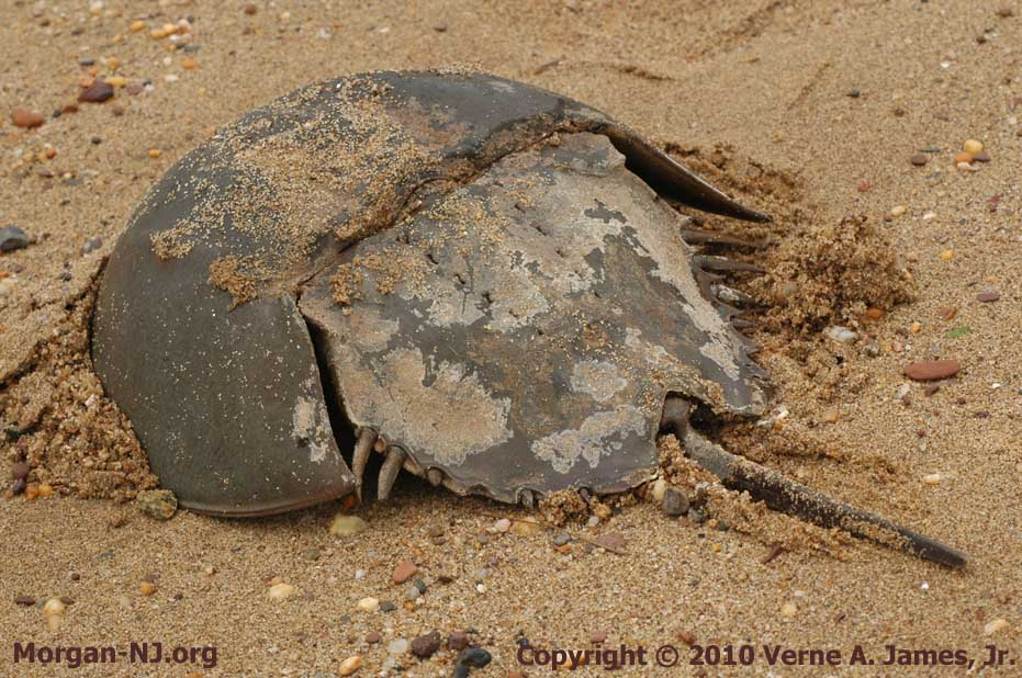 The Harmless and Helpful Horseshoe Crab | Morgan, New Jersey